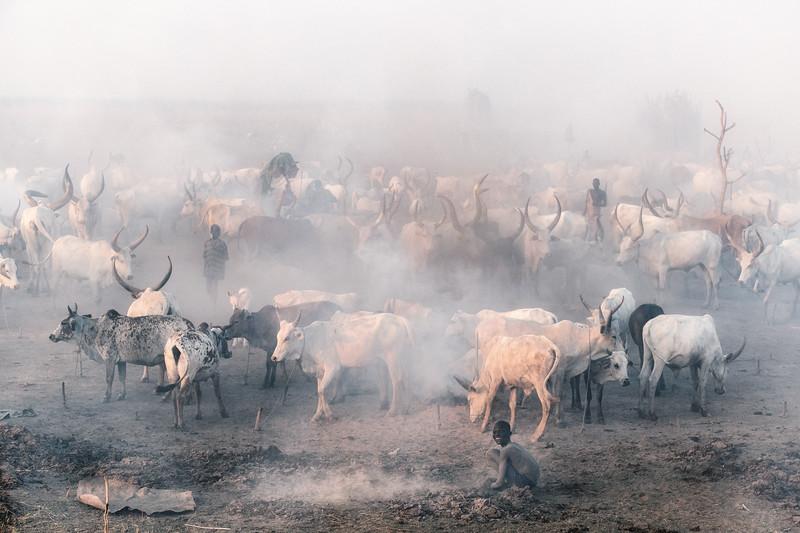 Ankole Watusi cattle, South Sudan