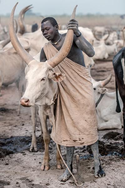 Cow contentment