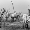 The cattle in camp at Terekeka