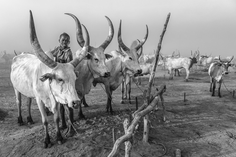 Morning rituals with the cattle, Terekeka