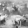 Ankole watusi  gathering in Mundari camp, White Nile