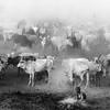 Ankole watusi  gathering in camp at Terekeka