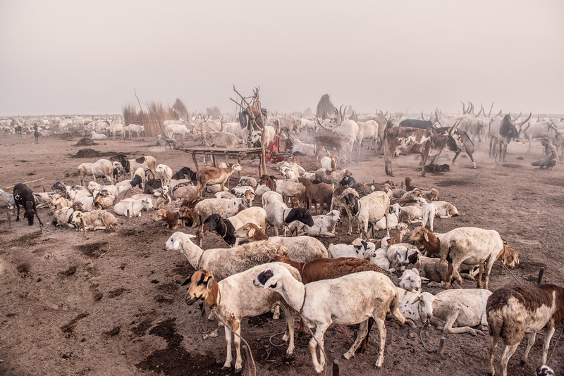 Life in a cattle camp