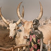 Looking after the Ankoli Watusi cattle