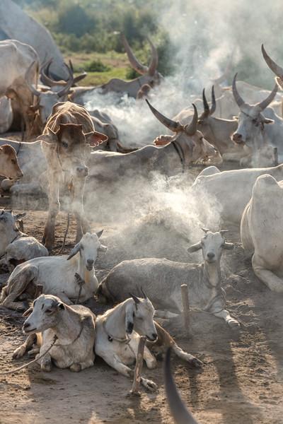 Dinka livestock