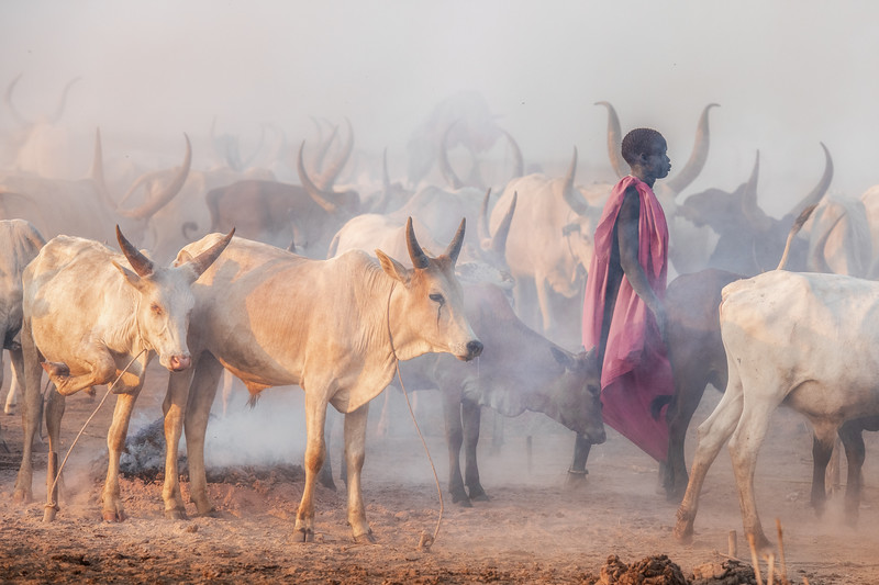 Ankole watusi cattle and their herder