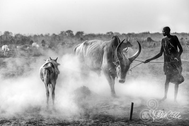 Bull husbandry, Mundari tribe