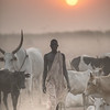 Cattle and the Mundari