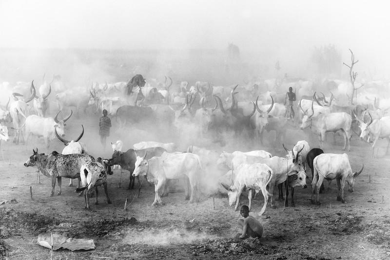 Ankole Watusi cattle, Mundari, South Sudan