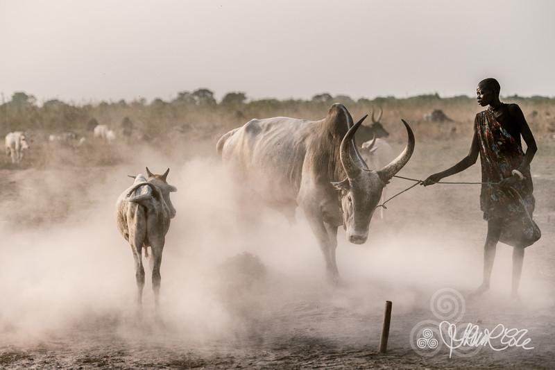 Bull husbandry