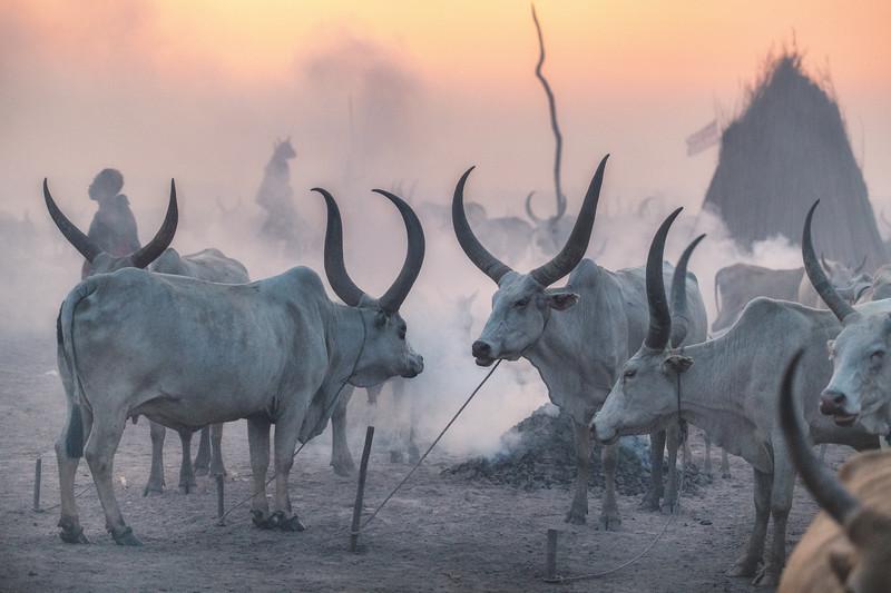 Mundari cattle camp at dusk