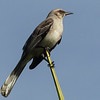 41  Tropical Mockingbird / Mimus gilvus, Tobago