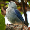 09  Blue-gray Tanager / Thraupis episcopus, Tobago