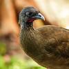 12  Rufous-vented chachalaca / Ortalis ruficauda, Tobago