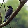 14  Shiny Cowbird / Molothrus bonariensis, Tobago