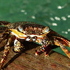 04  Crab on the pier at Blue Waters Inn, Tobago