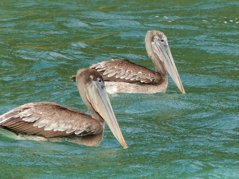 17  Brown Pelicans / Pelecanus occidentalis, Blue Waters Inn, Tobago