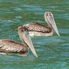 17  Brown Pelicans / Pelecanus occidentalis, Blue Waters Inn, Tobago