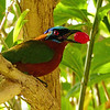 37  Trinidad Motmot / Momotus bahamensis, Tobago