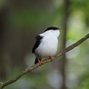 White Bearded Manakin at Asa Wright Nature Center, Trinidad