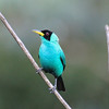 Green Honeycreeper, Asa Wright Nature Center, Trinidad