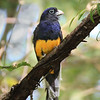 Green-backed Trogon