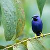 Purple Honeycreeper - male