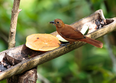 White-lineed Tanager - femaie