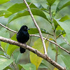 White-lineed Tanager - maie