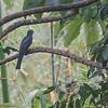 Amazonian Violaceous Trogon