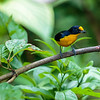 Violaceous Euphonia - male
