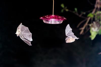 Leaf-nosed Bat