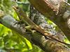 Grenada Tree Anole - Anolis richardii