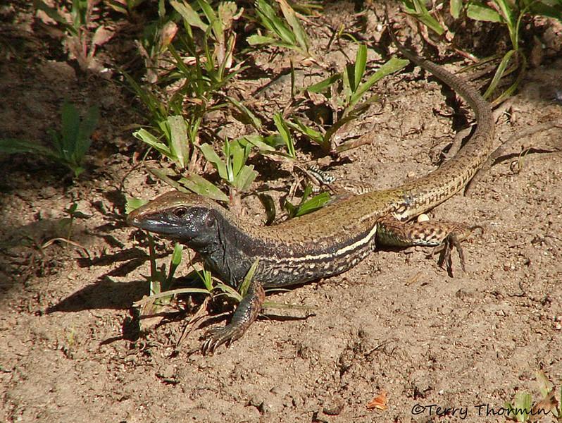 Ameiva Lizard - Ameiva ameiva