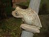 Emerald-eyed Tree Frog - Hyla crepitans