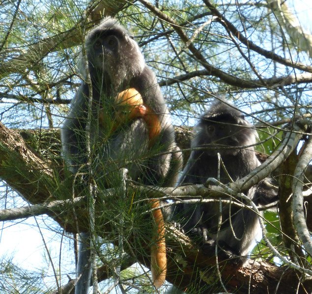 Silvered Leaf Monkeys with Orange Baby