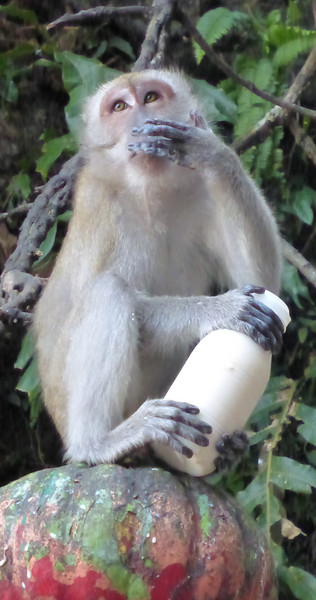 Monkey Drinking Stolen Bottle of Milk