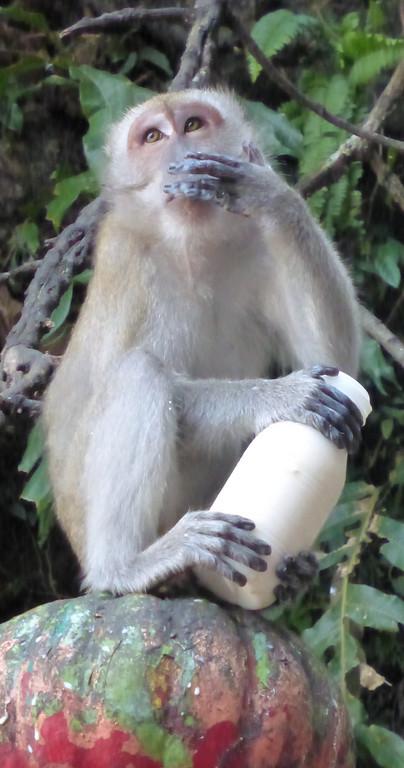 Monkey Drinking Stolen Bottle of Milk