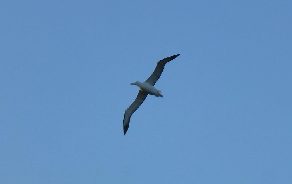 Albatross, Otago Peninsula
