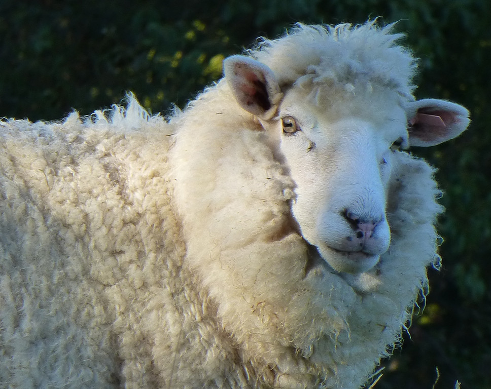 Sheep at McFarmers Backpacker Lodge