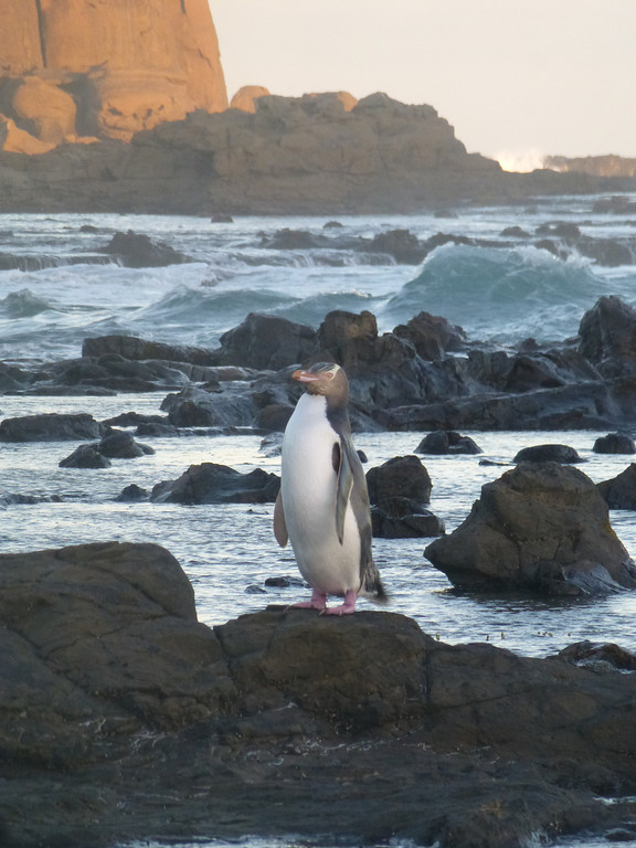 Yellow-Eyed Penguin, Petrified Forest, Curio Bay