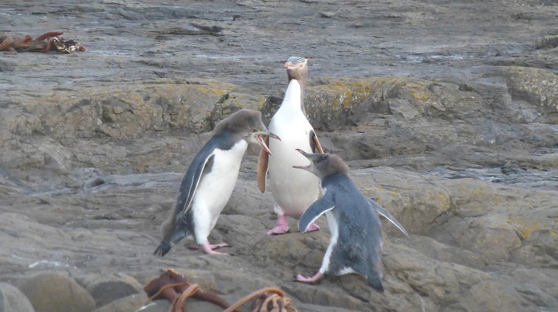 Yellow-Eyed Baby Penguins Fighting