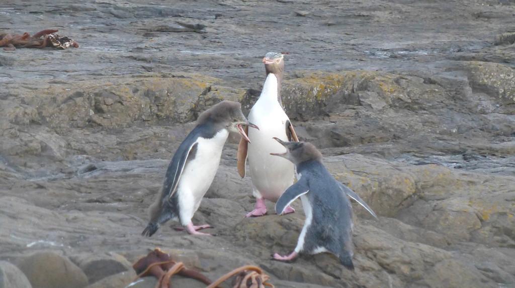 Yellow-Eyed Baby Penguins Fighting