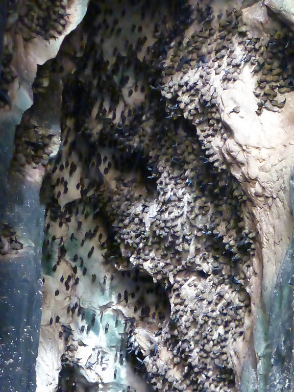 Swiftlets and Swiftlet Nests
