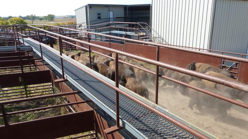 Bison Roundup at Fort Niobrara National Wildlife Refuge, Valentine, NE