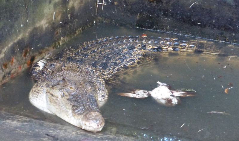 Sad Looking Croc with a Dead Bird Even He Doesn't Want