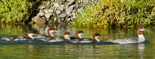 Common Merganser hen and ducklings