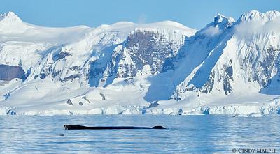 Humpback logging at the surface