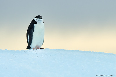 Chinstrap Penguin on Iceberg