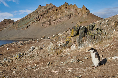 Molting Chinstrap Penguin